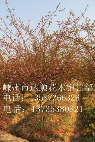 大量提供 3cm-18cm的垂丝海棠,树形饱满,