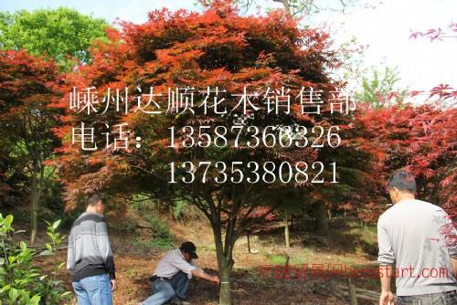 大量提供 3cm-18cm的中国红枫,中国红枫价格表