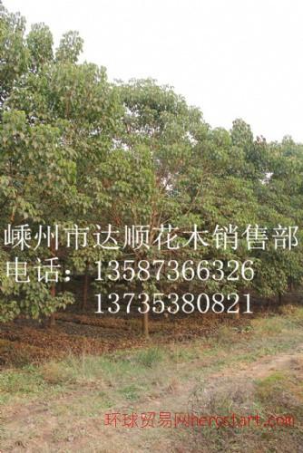大量提供 3cm-18cm的重阳木,重阳木价格表
