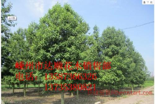 红花木莲,黄山栾树10cm-20cm ,质量