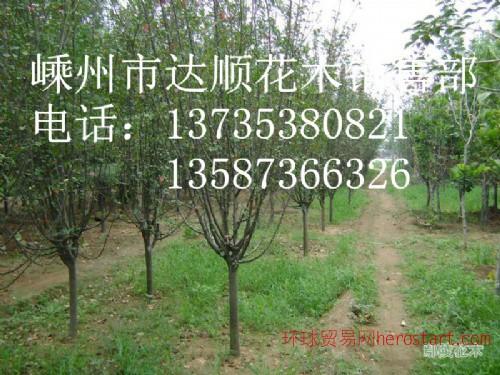 大量提供 3cm-15cm的西府海棠,垂丝海棠,垂丝海棠价格表