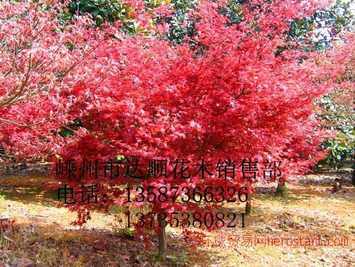 日本红枫3cm-14cm,质量
