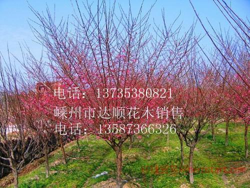 红梅,骨里红红梅4cm-15cm,红梅价格表