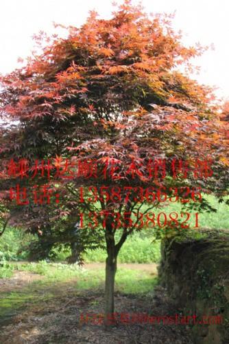 中国红枫7cm-20cm,质量