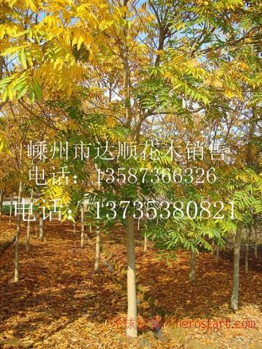 提供重阳木,栾树,无患子10cm-22cm ,质量第