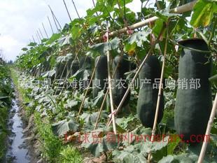 专业供应 广西博白黑皮冬瓜 新鲜瓜果蔬菜
