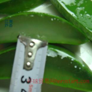 库拉索芦荟鲜叶 食用美容 叶片宽厚出肉率50%福建江夏芦荟公司