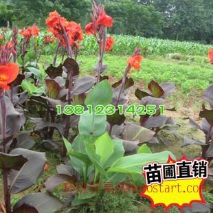 :美人蕉  大花紫叶美人蕉苗木,矮生/水生种球,黄/红花