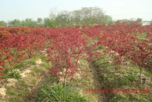 红枫地径2-10公分