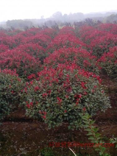 红叶石楠球,单杆红叶石楠,红叶石楠色块苗