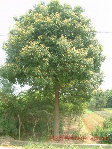 乔木香樟2-30公分全冠-半冠-光杆苗