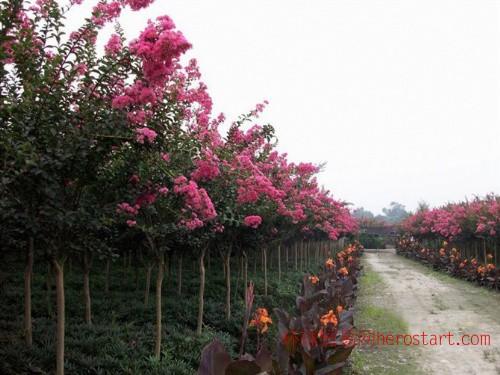 紫薇红叶桃香樟2-10公分