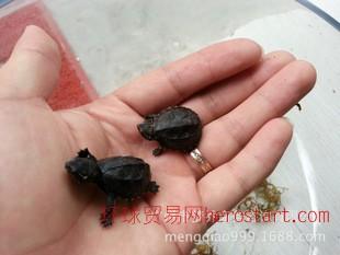 另类宠物 另类宠物活体麝香龟进口小型宠物