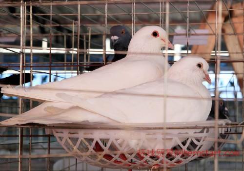 优质量种鸽销售