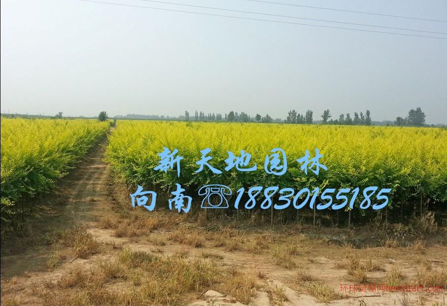 内蒙古2米金叶榆与绿化工程招标公告