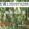 花椒苗 50-80公分花椒苗 1米以上花椒苗 大红袍花椒苗