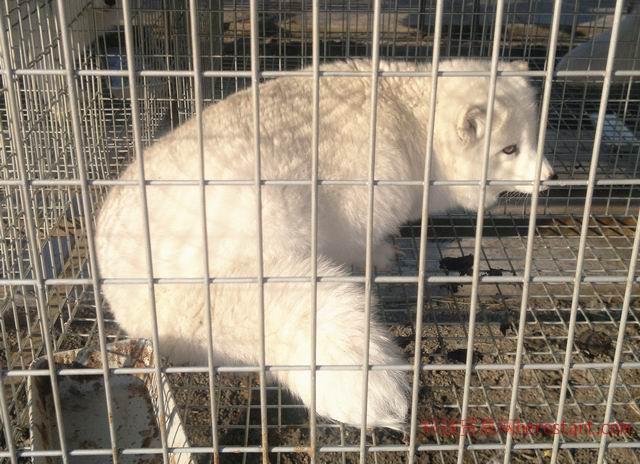 狐貉养殖场——秦皇岛市尚金皮草