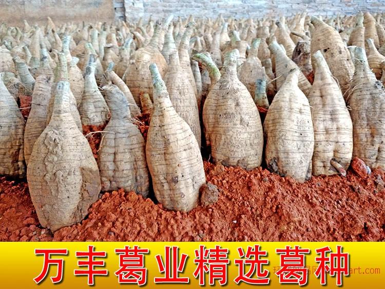 供应粉葛根种苗,贵州葛根种植主要品种