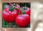 供应寿光进口的俄罗斯专用番茄种子凯莱