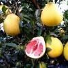 南充柚子苗特点,南充柚子苗出售,南充柚子苗种植技术