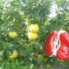 广安柚子苗厂家,广安柚子苗种苗
