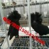 银王肉鸽价格、肉鸽养殖场、种鸽批发