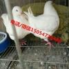 肉鸽种鸽养殖场