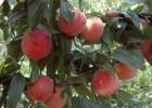 极早熟毛桃桃子价格,60以上包装,阳历5月份大荔县产地直销