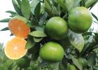 赣南蜜桔 产地直供 本年首批成熟橘子 8月中旬发货 柑橘