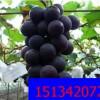 辽宁熊岳巨峰葡萄代购 大量批发新鲜产地葡萄