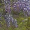 紫藤树苗价格