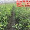 三红蜜柚苗木批发商