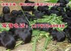 黑豚养殖效益高农村喂纯种黑豚赚钱的创业致富