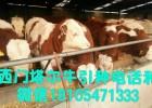 选肉牛好品种就来山东顺牧养殖场