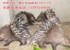 棘刺猪养殖技术家庭农场致富项目