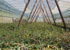 供应高效专业的铁皮石斛种植技术,欣农农业石斛源石斛的功效值