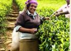 青岛进口茶叶清关,青岛进口茶叶报关,青岛进口茶叶流程