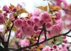 樱花树价格,樱花价格更新,樱花树报价参考