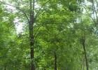 苦楝树价格,苦楝树价格更新,苦楝树报价参考