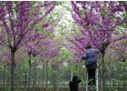巨紫荆树价格,巨紫荆价格更新,巨紫荆报价参考