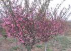 红梅树价格,红梅树价格更新,红梅树报价参考