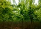 金叶复叶槭价格,金叶复叶槭价格更新,金叶复叶槭报价参考