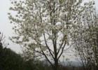 辛夷树价格,辛夷树价格更新,辛夷树报价参考