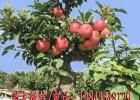 盆栽苹果苗 矮化苹果苗 苹果盆景苗 耐寒苹果苗 耐寒桃树苗