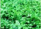 高效牧草鲁梅克斯种子 进口高杆菠菜 鲁梅克斯种子