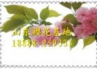 樱花价格/山东樱花树价格/泰安日本晚樱花树价格