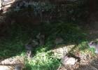思麻兔价格 思麻兔养殖业繁殖生产技术