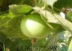 苹果葫芦种子 观赏苹果 葫芦种子