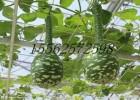 天鹅葫芦种子 葫芦种子 观赏葫芦种子,