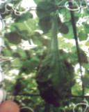 鹤首葫芦种子,观赏葫芦种子